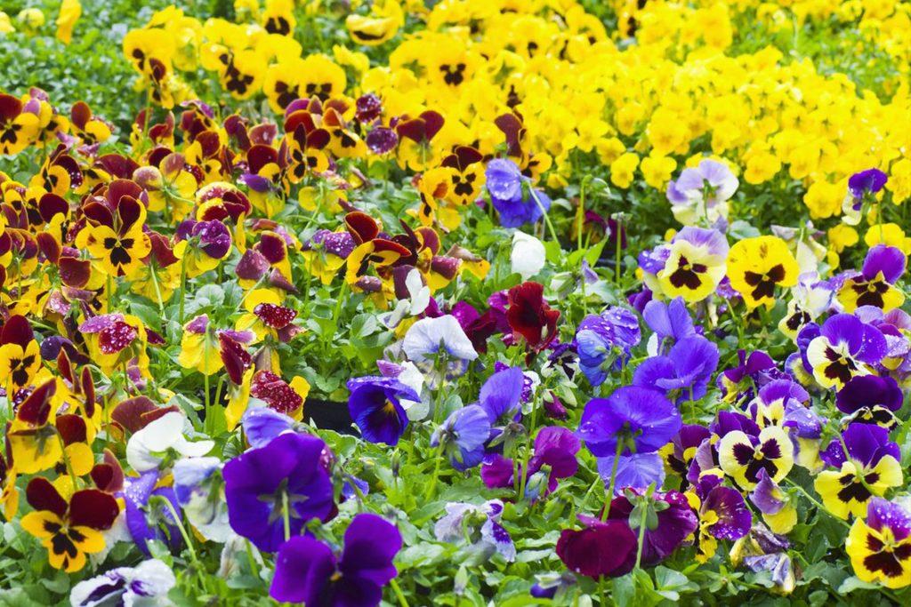 Perennial Flowers   Killeshandra Garden Centre   Cavan