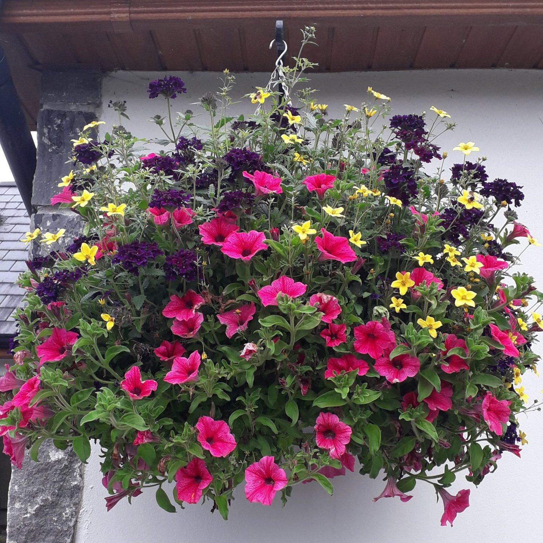 Hanging Baskets   Killeshandra Garden Centre   Cavan